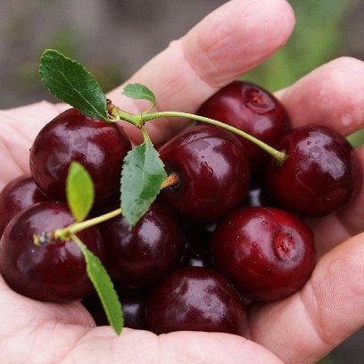 вишни сорт кармин джуэл