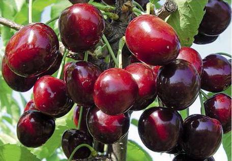 вишни кармин джуэл
