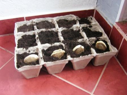 как посадить косточки манго