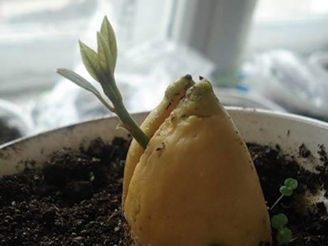как проращивать авокадо