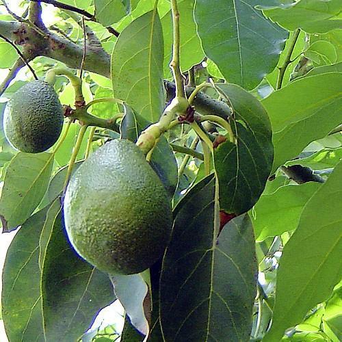 плодоносит авокадо, выращенный  из косточки
