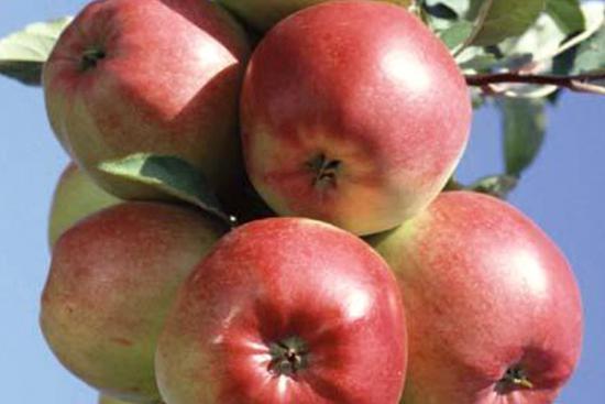 польский сорт яблок Лигол