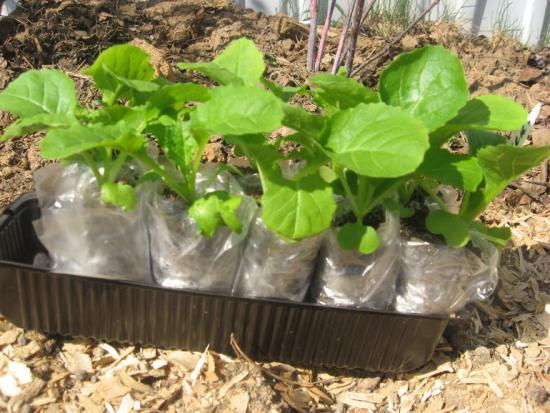 отзывы о выращивании рассады в пеленках