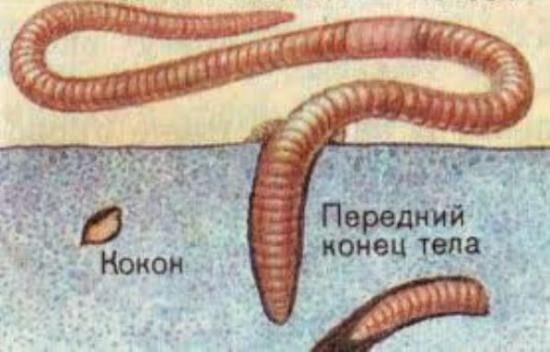 разведение дождевых червей