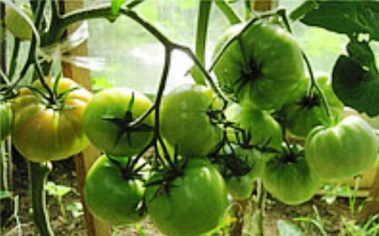 томат дыорцовый