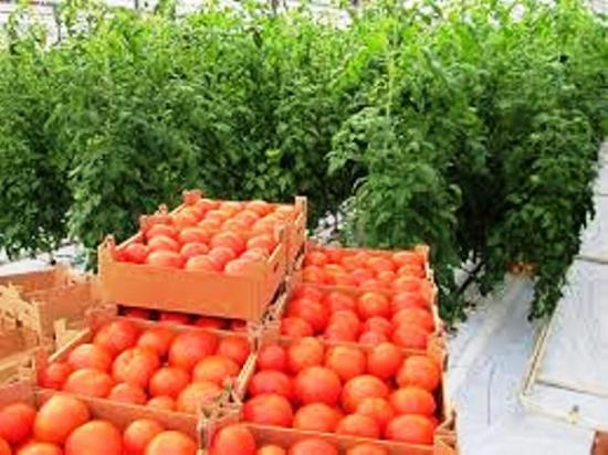 томат дворцовый выращивание в темплице