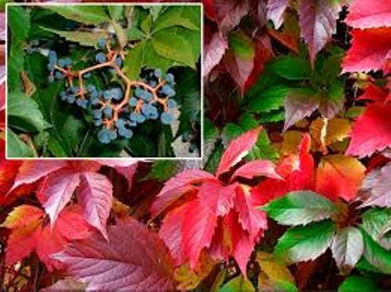 девичий виноград, ядовитые черные ягоды