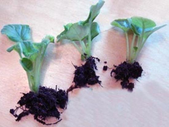 размножение фиалки делением куста