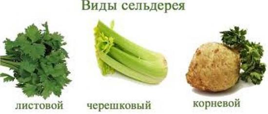 сорта сельдерея