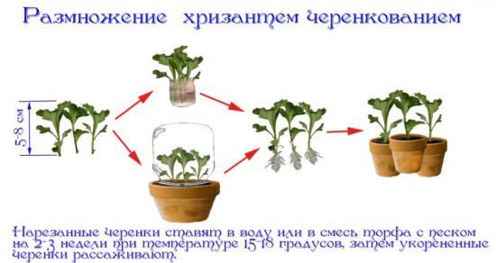 как прорастить хризантему из букета