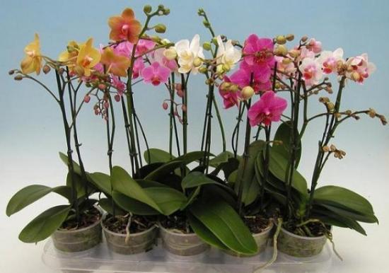цветение орхидеи