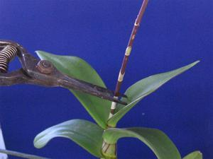 Что делать после того как орхидея отцвела, особенности ухода в период покоя