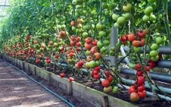 томаты, семена овощей