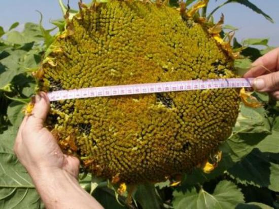 семена подсолнухов