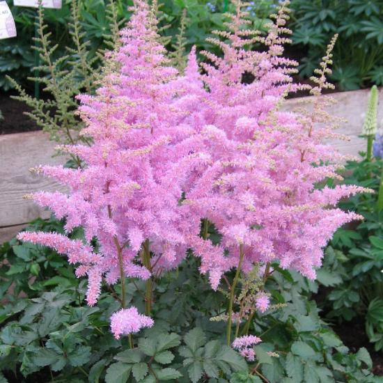 астильба сколько длится цветение