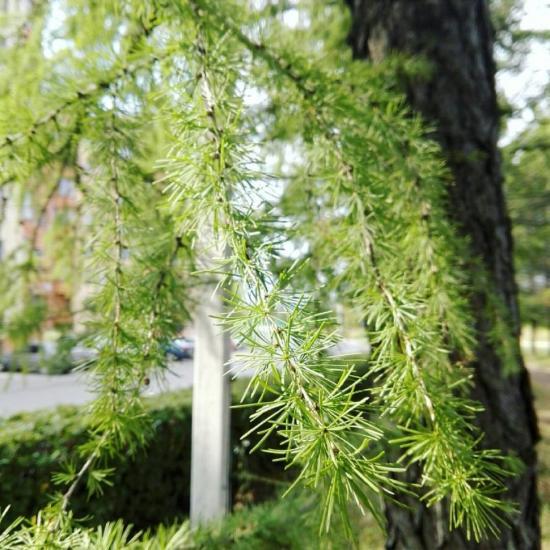 Какое дерево сбрасывает хвою на зиму кроме лиственницы, листопадные хвойные