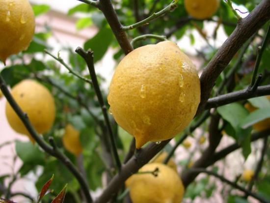 опрыскивание лимона