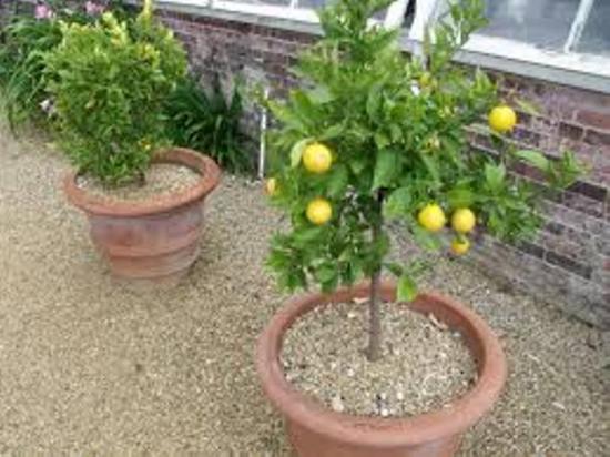 мульчирование грунта в горшке с лимоном