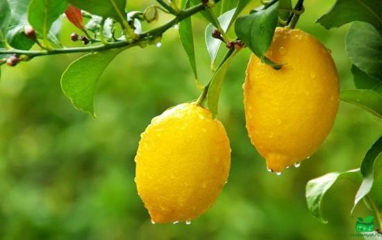 опрыскиввание лимона