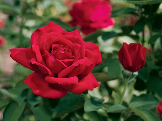 роза Крайслер империал