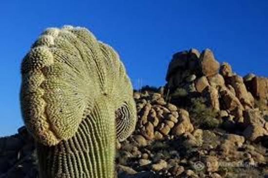 самый высокий кактус