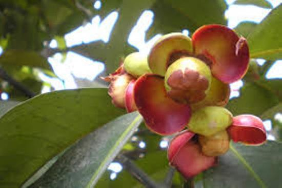 как растет мангостин