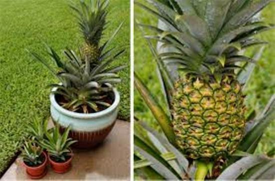 вырастить ананас в горшке