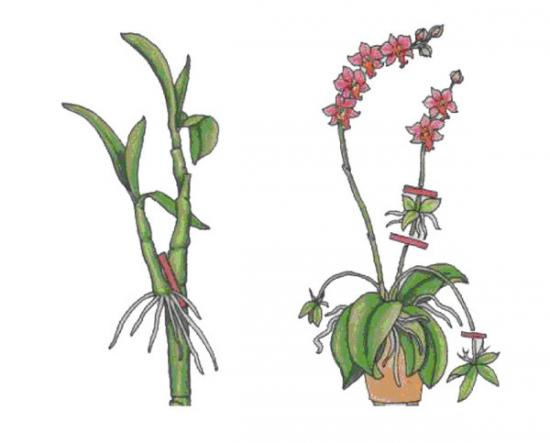 отросток орхидеи с окрепшими корешками