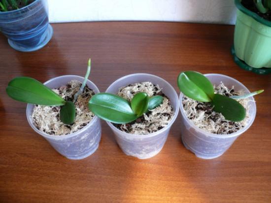 детки орхидеи в стаканчиках