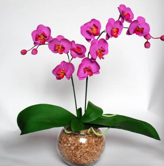 орхидея фаленопсис цветение