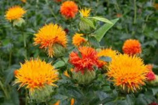 сафлор цветение