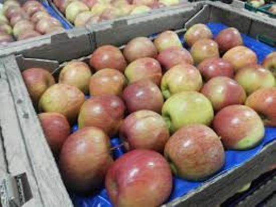 яблоки фуджи хранение