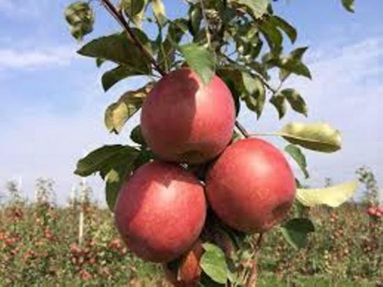 яблоки сорт фуджи
