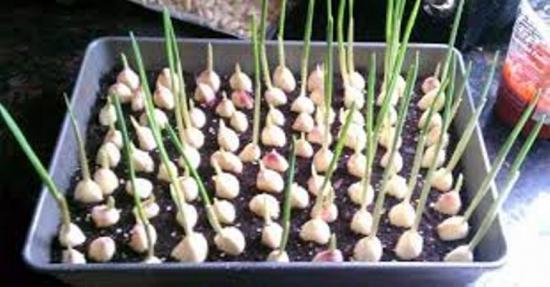 выращивание ческнока в домашних условиях