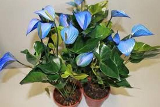 синий спатифиллум