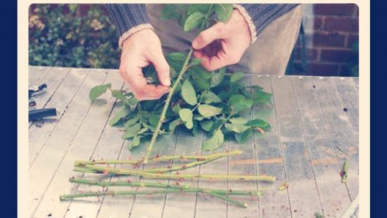 удаление листьев и шипов из срезанных роз