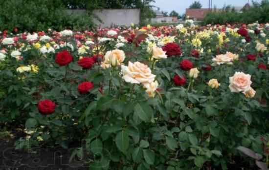 цветение роз