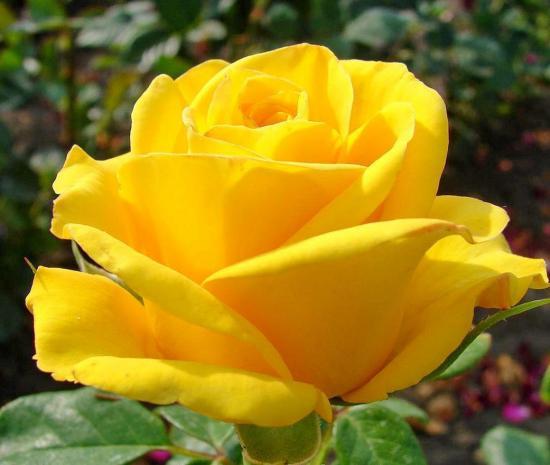 как сохранить свежесть роз