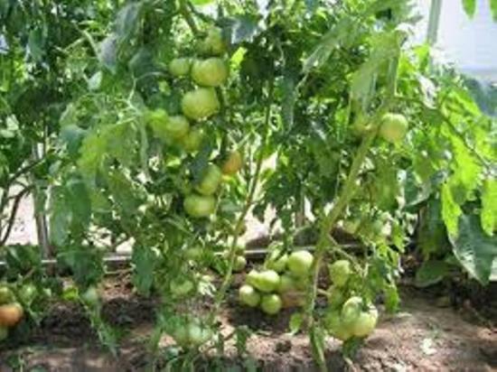 томат полбиг особенности сорта