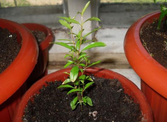 комнатный гранат выращивание из семян