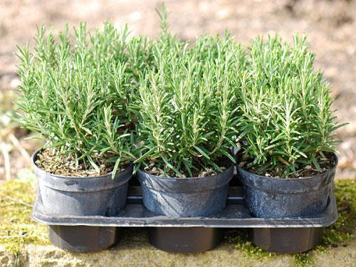 Какие пряные травы можно вырастить на подоконнике, правила ухода за растениями