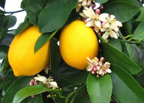 лимоны, выращивание в комнатных условиях