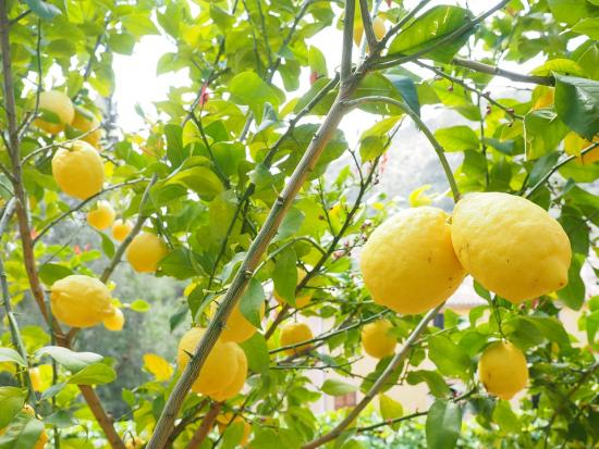 спелые лимоны
