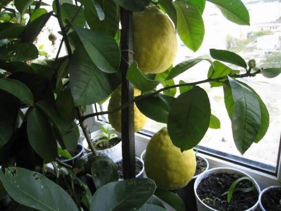 урожайность лимона