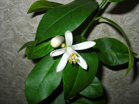 цветение лимона новогрузинского