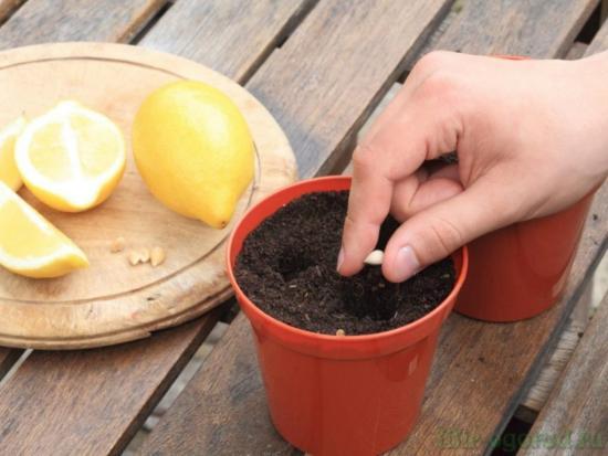 посев семян лимона