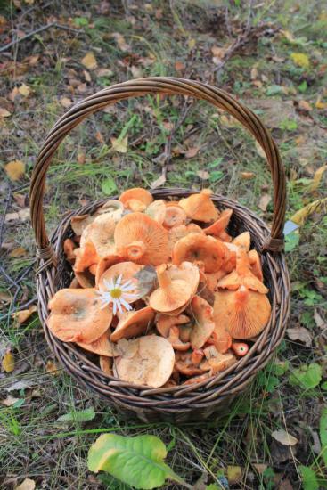 грибы рыжики на картинке