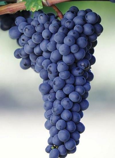 гроздь винограда Адель