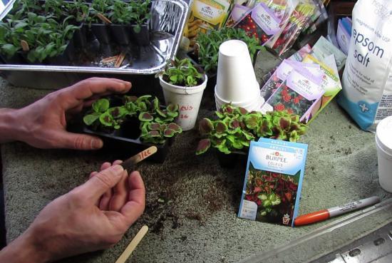 Размножение колеуса черенками, выращивание на подоконнике и в саду