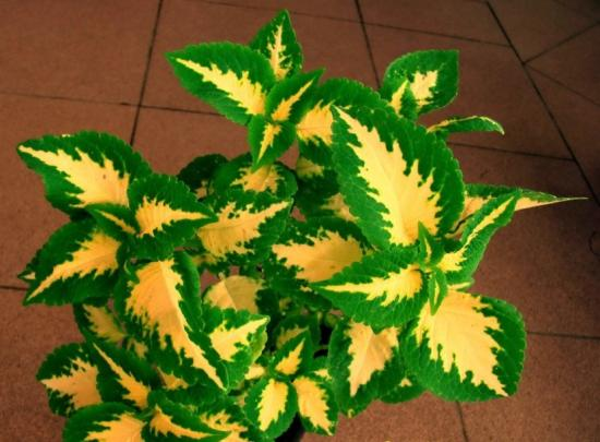 Оригинальная расцветка колеуса